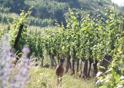 Vignoble Weingut Bründlmayer